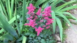Цветочный рай на даче (флоксы, лилии, ромашки 28 июля 2017г)