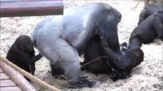 Bauwi and Nakou @Burgers' Zoo playing