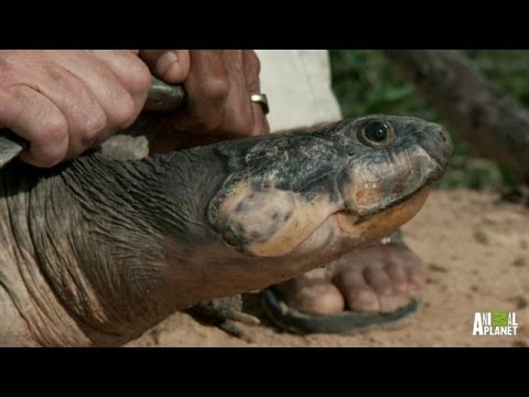 massive turtles not as slow as you think river monsters youtube
