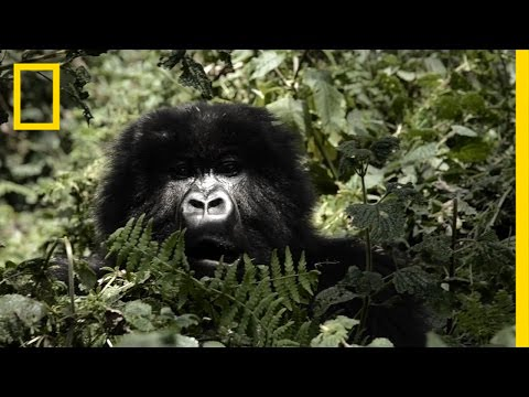 Mountain Gorillas' Survival: Dian Fossey's Legacy Lives On | Short Film Showcase