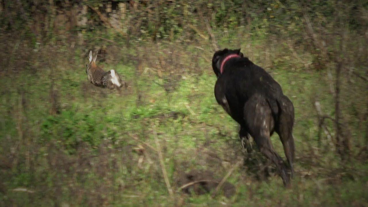 Cacería de Conejos con Perros Beagles y Galgos | Videos de Caza 2020
