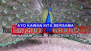 LAGU ANAK-MENANAM JAGUNG (KARAOKE TANPA VOKAL)