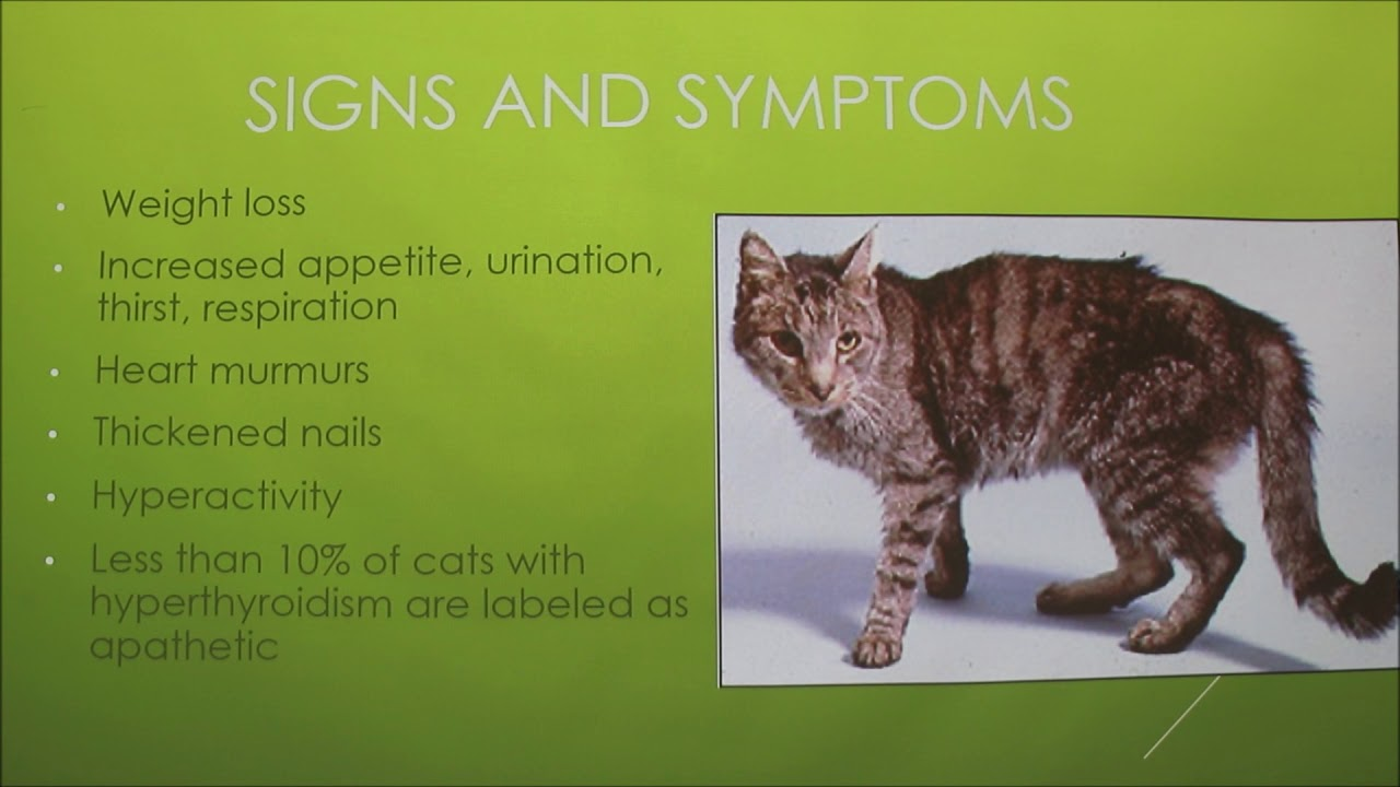 Hyperthyroidism In Cats Youtube