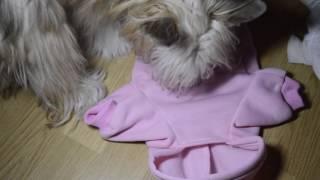 Одежда для собак с Китая, примерка на китайскую хохлатую