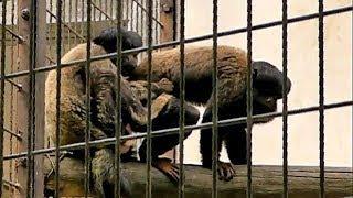ヒゲサキの交尾(東山動植物園)Black Bearded Saki Mating
