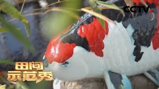《田间示范秀》 20200206 绚丽锦鲤养成记|CCTV农业