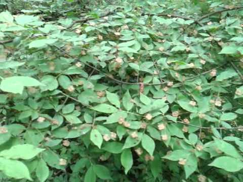Бересклет — славное растение. Посадка и уход. Виды. Фото