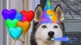 Happy 9th Birthday To Shiloh The Siberian Husky!