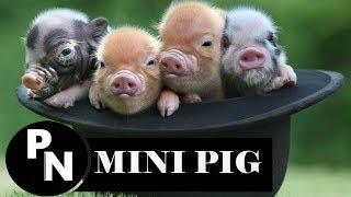 UN MINI PIG COMO MASCOTA//ORIGEN,COMPORTAMIENTO Y CUIDADOS.