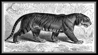 «The wild Tigers» слайд шоу из фотографий.