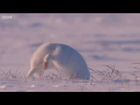 HD Arctic Fox Dives Headfirst Into Snow   arctic fox hunting technique
