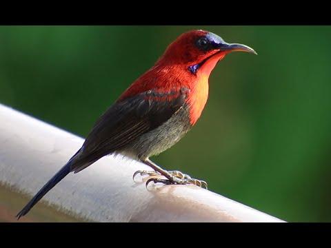 キゴシタイヨウチョウ (Crimson Sunbird)