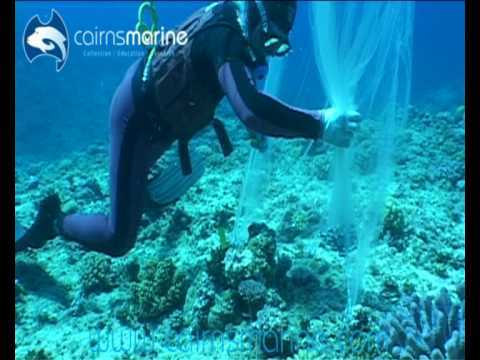 Hand Collecting Lemonpeel Angels In The Coral Sea Using A Barrier Net