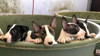 TRY NOT TO LAUGH or GRIN: Funny and Cute Bull Terrier Videos Compilation (25)