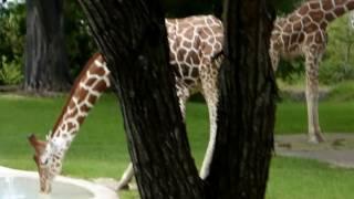 Жирафы и окапи в зоопарке Майами. Giraffes and Okapi in Miami Zoo