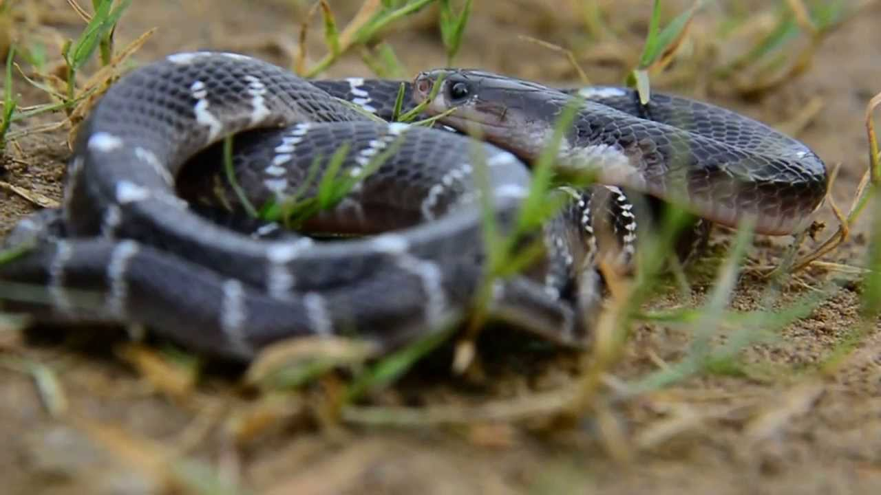 common snakes in india Media in category snakes of india the following 166 files are in this category, out of 166 total.
