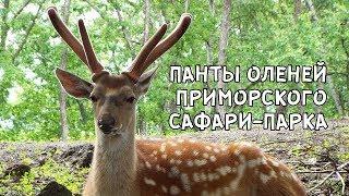 ПАНТЫ ОЛЕНЕЙ ПРИМОРСКОГО САФАРИ-ПАРКА. 13 июня 2018 г.