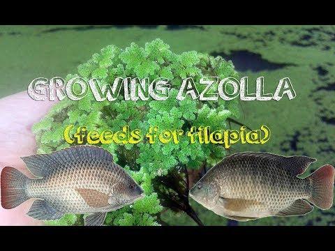 How To Grow Azolla - Feeds For Tilapia