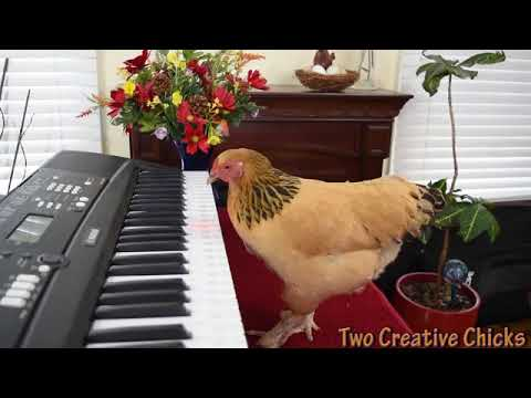 Chicken Plays Operatic Aria on  Piano Keyboard2