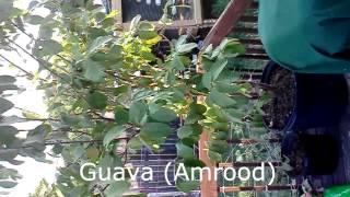 Growing Okra,green Gourd, Cucumbers,corn,figs,mango,rasberries,strawberries,melon In Texas