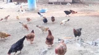 Vivek Desi murgi farm