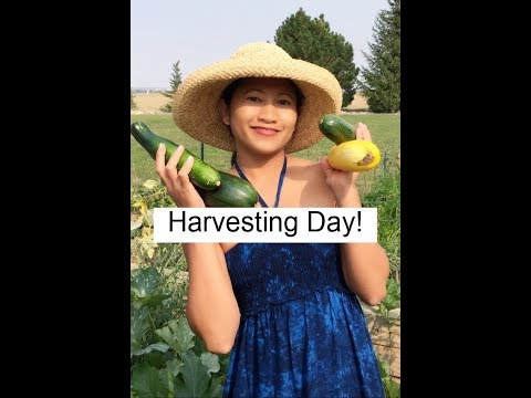 Fil-AM Life in U.S: Harvesting Organic Vegetables from Our Garden 2017