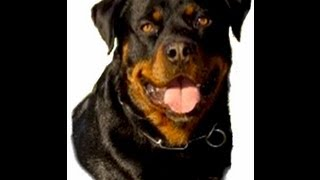 The Rottweiler - The Dog That Will Always Try To Please You!