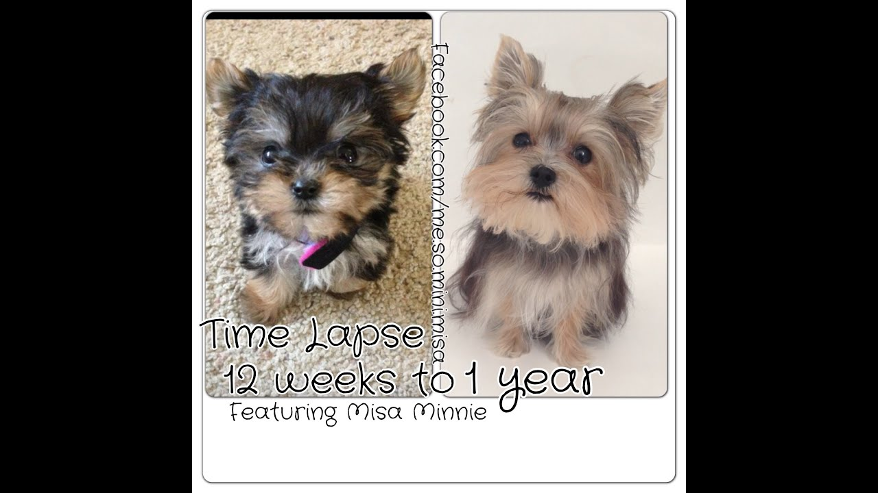 Time Lapse Puppy 12 Weeks To 1 Year Cute Yorkie Misa Minnie Youtube