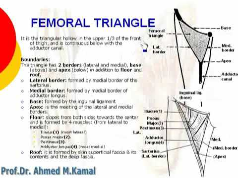 049 femoral triangle lower limb anatomy by dr ahmed kamal - YouTube - femoral triangle