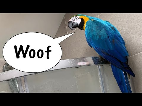 Parrot Barking Like A Dog || Mikey The Macaw
