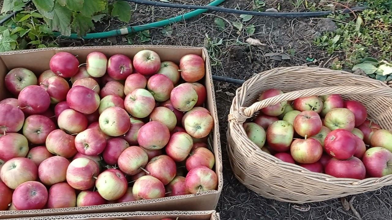 урожай с одной яблони привитой на подвой 54-118
