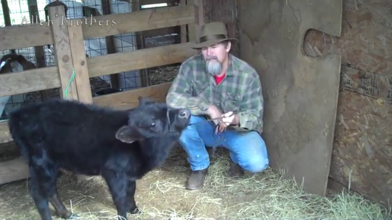 how to get a calf to stop sucking