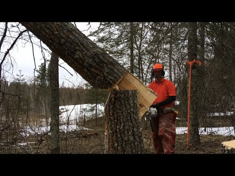 Trees That Don't Like Hinge Cutting - Tongue & Groove Tree Felling