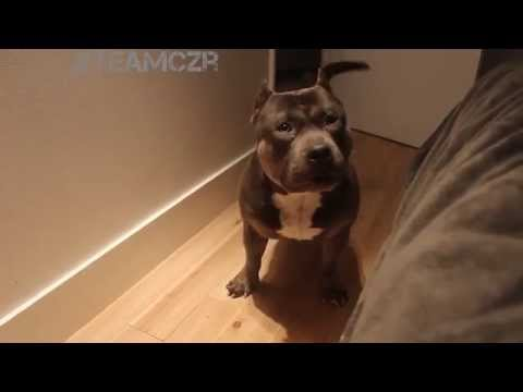 Czr American Bully Tattletale Lassie Who? Talking Dog Tells on Sister