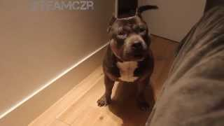 Talking dog Czr. American Bully is so smart!