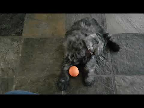 Bouvier puppy Babbe playing with her ball gets spooked by her sister's Vinou bark.