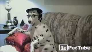 Adorable Dalmatian Dresses Up - Pettube