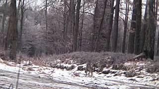 wilk nagrany w okolicy podolsztynskiej Rusi