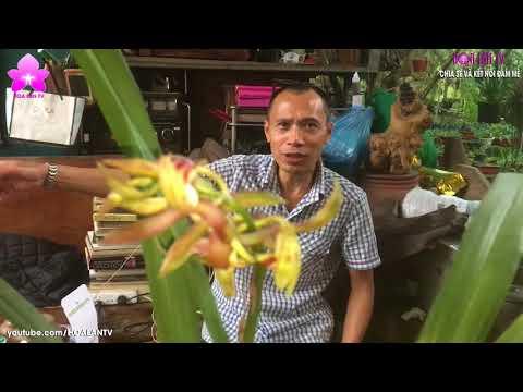 HoalanTV: Địa Lan Đột Biến Chớp Độc Dị Và... Giá Khủng (Thị Phi Part 2)