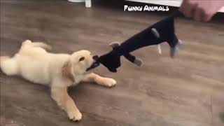 Best Of Cute Golden Retriever Puppies  - Funny Dogs 2019
