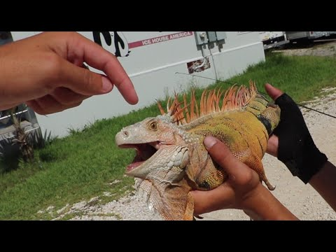 Are Iguanas Dangerous?¿ WE CAUGHT A MEAN ONE
