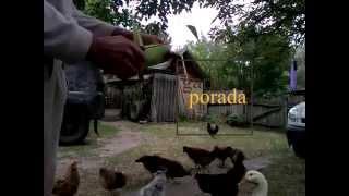 Как правильно кормить домашнюю птицу молодым кочаном кукурузы