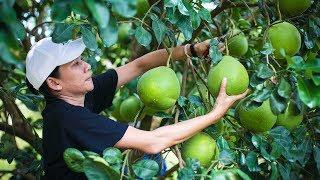 เกษตรกรสวนส้มโอ