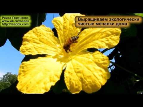 Вопрос: Какие особенности выращивания крукнеки?