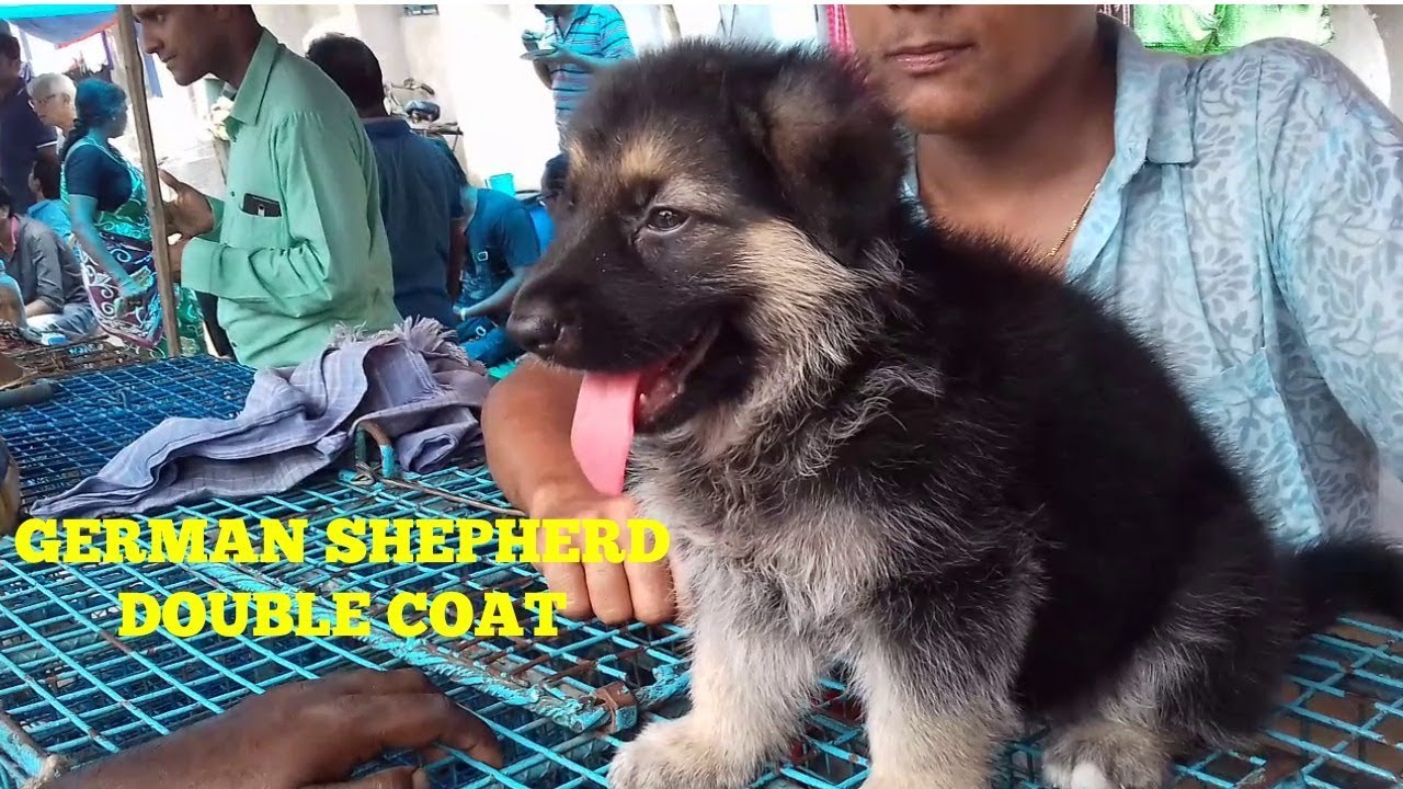 GERMAN SHEPHERD DOUBLE COAT AT GALIFF STREET PET MARKET KOLKATA | GALIFF  STREET DOG MARKET