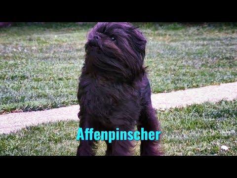 Affenpinscher (dog) Canis lupus familiaris