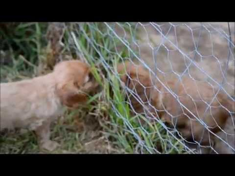 Ruby Cavalier King Charles Spaniel puppies & daddy playing