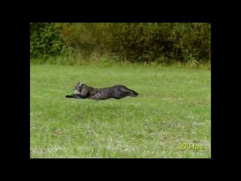 Running cat 2- slow motion 100-200 fps