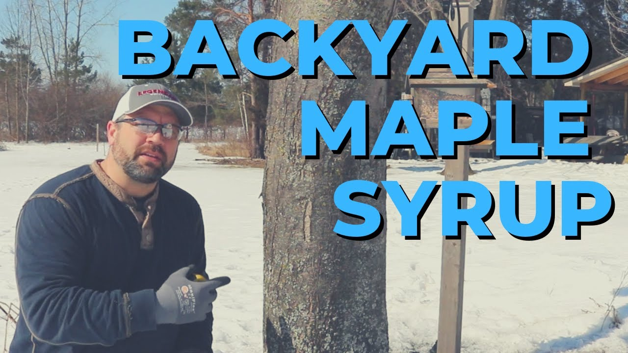 backyard maple syrup part 1 tapping trees and collecting sap