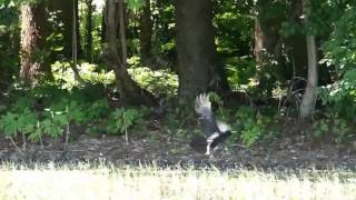 Three or four carrion crows (Corvus corone, family Corvidae) fighti...